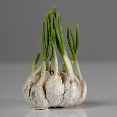 Garlic Never Sleeps