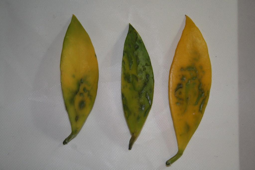 Hoya Sp Haruku Fungal Disease Of Leaf Michael Dahms Flickr