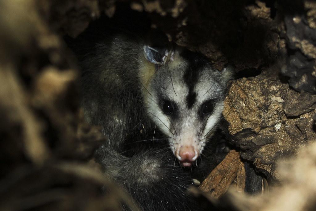 Common Opossum  (Didelphis marsupialis) Gambá-de-orelha-branca ou Saruê