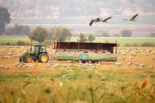 Hula Valley, Grey Cranes | by princesswhycome