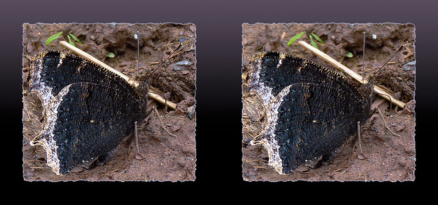 Nymphalis Antiopa, Mourning Cloak or Camberwell Beauty Butterfly 2 - Parallel 3D