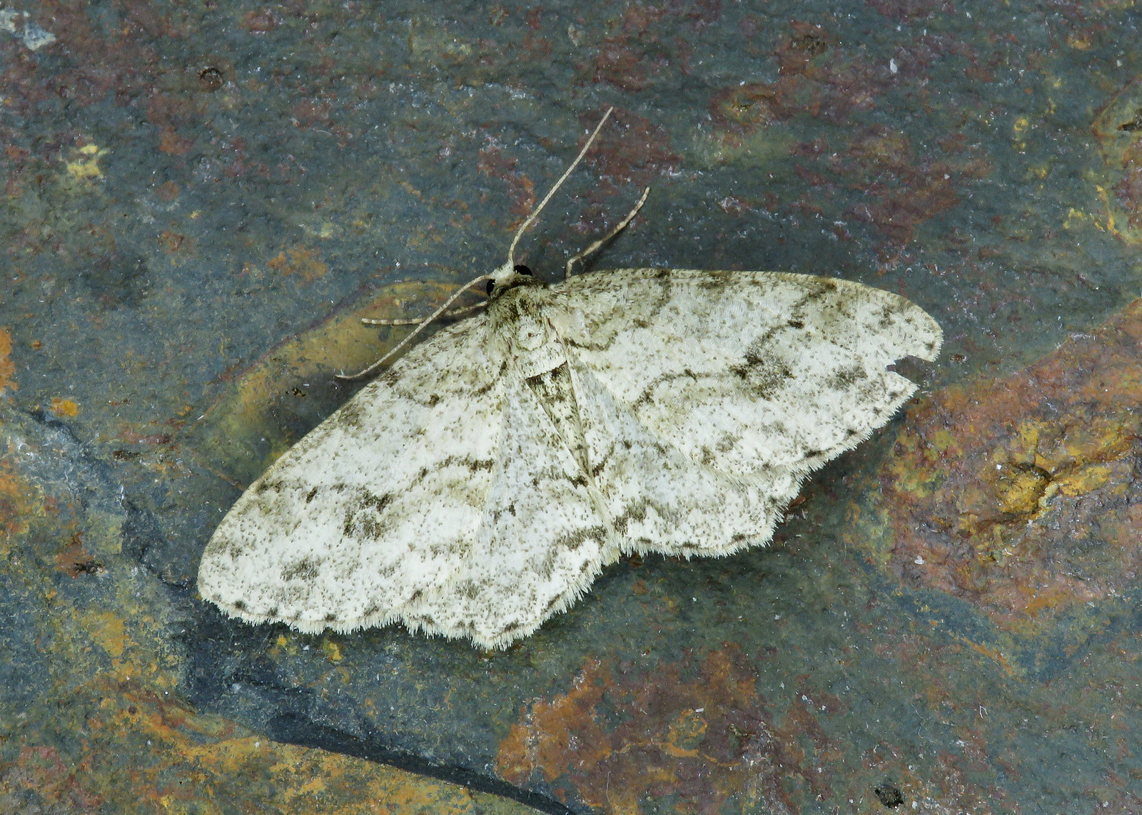 70.270 The Engrailed - Ectropis crepuscularia