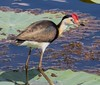 Comb-Crested Jacana (Irediparra gallinacea) (adult).01 by Geoff Whalan