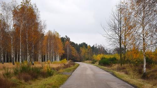 path road nature tree trees birch autumn fall weather dark cloudy colours łódzkie lodzkie polska poland landscape view lodzhillslandscapepark parkkrajobrazowywzniesieńłódzkich