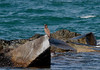 Brown Booby (Sula leucogaster) by TG23-Birding in a Box