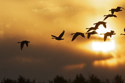 birds geese raw pennsylvania hanover longarmdam