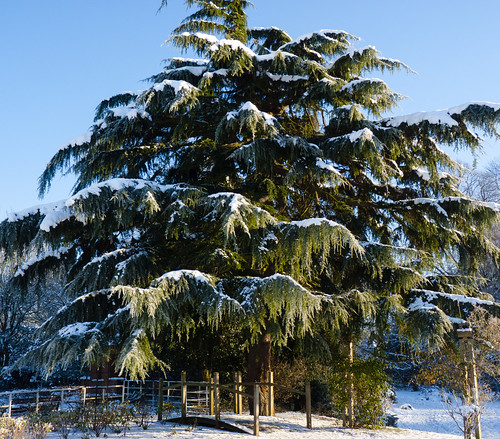Larch with snow