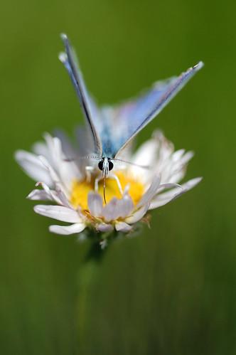 macro oregon butterflies wildflowers mtashland siskiyoumountains grousegap