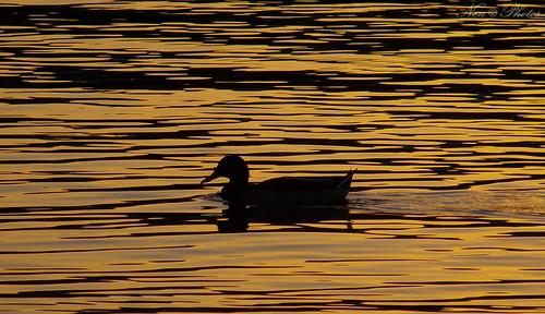 park water silhouette photography duck kodak