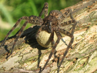 Fishing Spider with Egg Sac | by U.S. Fish and Wildlife Service - Midwest Region