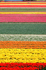 The Tulip Fields For Ever