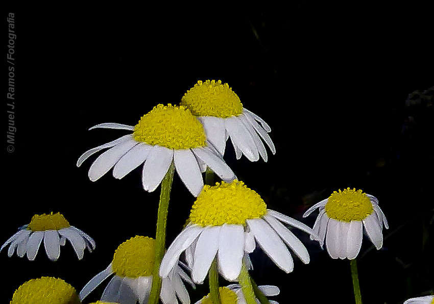 Margaritas en la noche | Miguel Juan Ramos Pastor | Flickr