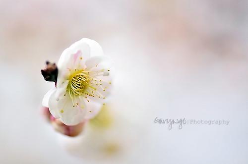 usa white flower macro cherry spring nikon dof blossom maryland brooksidegarden nikkor105mmf28gvrmicro d7000