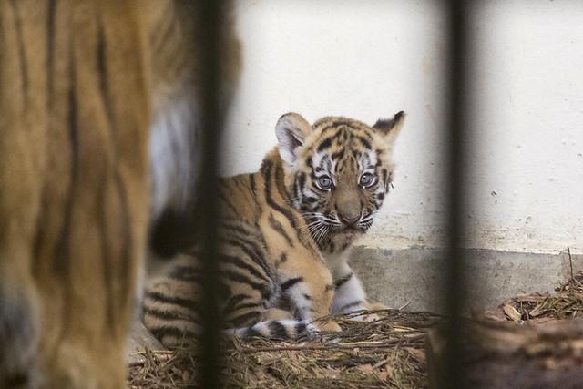 Amur tiger cub, Blackpool Zoo, Blackpool, Lancashire, UK