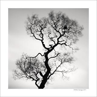 Lone Oak Tree Study 6