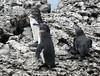 Pingüino de Galápagos, Galapagos Penguin (Spheniscus mendiculus) by Francisco Piedrahita