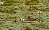 Masked Duck, Nomonyx dominicus by jwsteffelaar