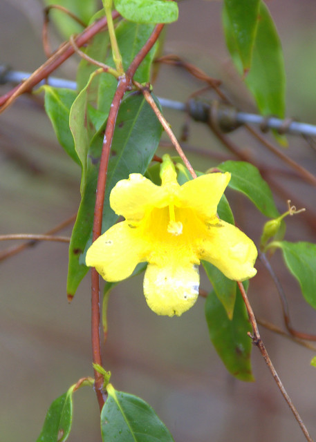 Yellow Jessamine - 1