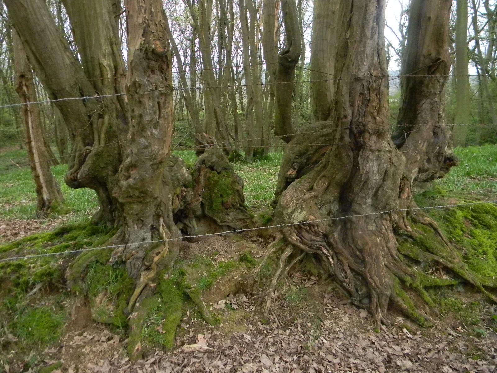 Gnarled trunks Robertsbridge circular (short)
