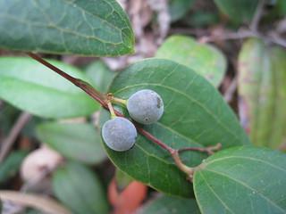 Native sarsparilla fruit | by John Tann