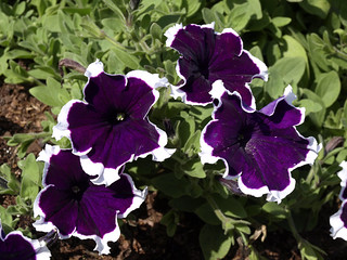 Petunia Fortunia 'Purple Picotee' 1a | by scott.zona