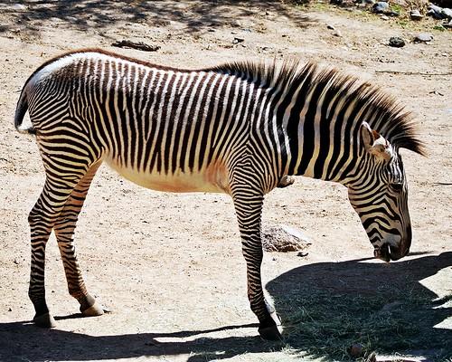 Grevy's Zebra (Equus grevyi)   by 5of7