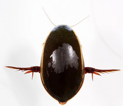 insect coast beetle northcarolina coleoptera eol dytiscidae canonefs60mmf28macrousm cybister predaceousdivingbeetle cybisterfimbriolatus giantdivingbeetle taxonomy:binomial=cybisterfimbriolatus