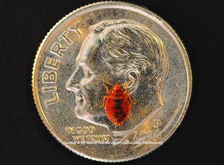 Size of bed bug compared to dime | by Medill DC