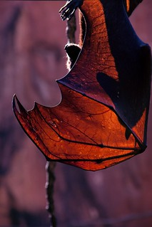Hang in there, buddy (Animal Kingdom - Malayan Flying Fox bat) | by hecpara