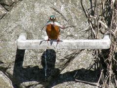 #6651 river kingfisher (カワセミ)