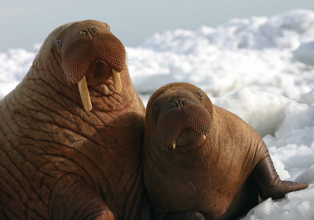 Walrus Cow and Calf