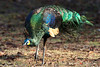 Green Peafowl ( Pavo muticus ) by 1 Rimnahm
