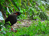 Okinawa rail  Cleaning by Okinawa Nature Photography