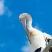 Pelican On A Street Light