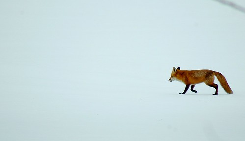 Red Fox, White Field, Blue Course