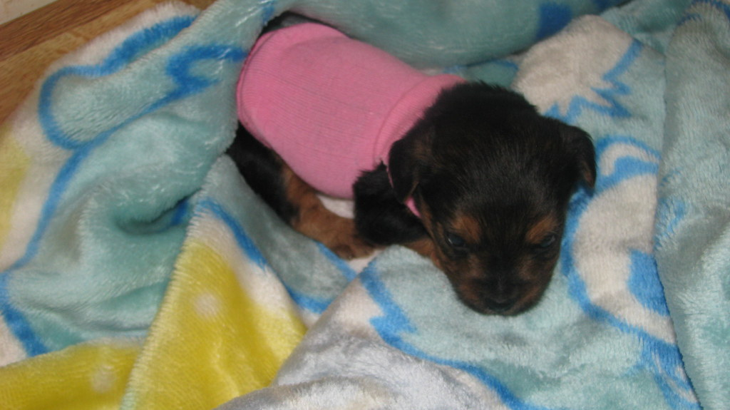 Teacup Yorkiepoo Puppy At 5 Weeks At Pocketsizedpuppiesco Flickr