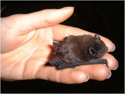Image result for baby brown bat