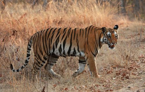 Her Majesty, Kankati Tigress ! | by MyLittleFinger