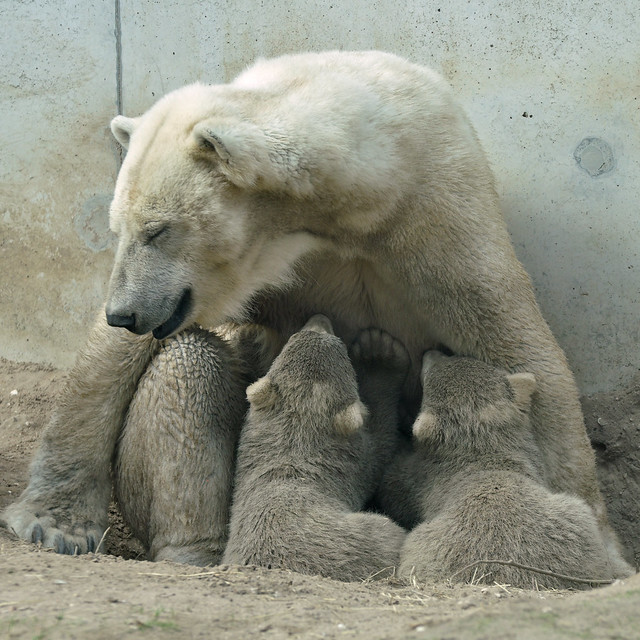 Polar Bear & Young