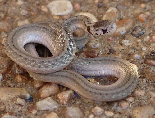 Insect Control! Snake! Texas Brown Snake