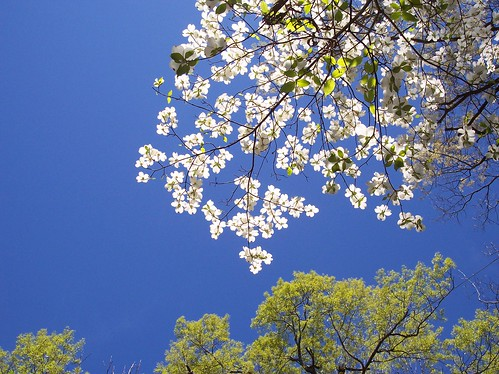 Dogwood in bloom | by baronsquirrel