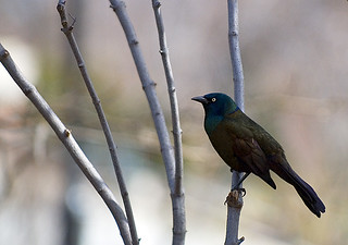Common Grackle (Quiscalus quiscula) | by Flipped Out