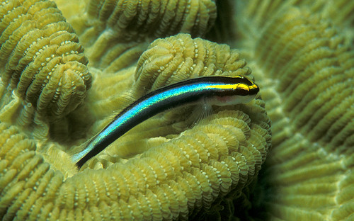 Sharknose Goby on Brain Coral | by laszlo-photo