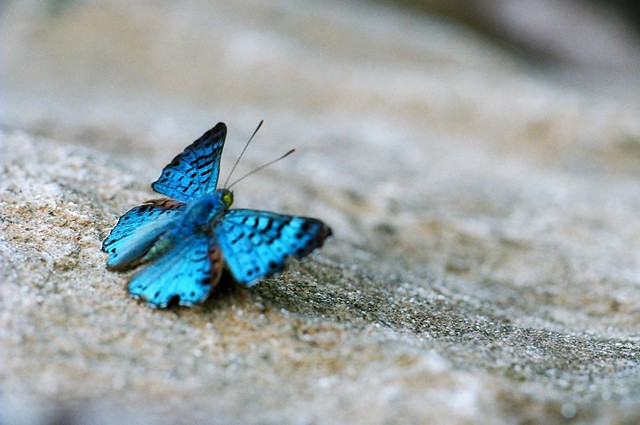 blue butterfly - Scientific name: Lasaia Ageslia