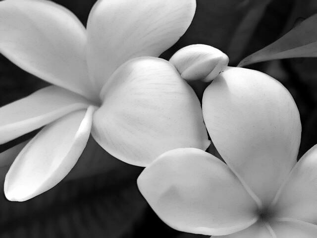 Black & White Plumeria
