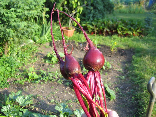 Beetroot from the allotment   by LoopZilla