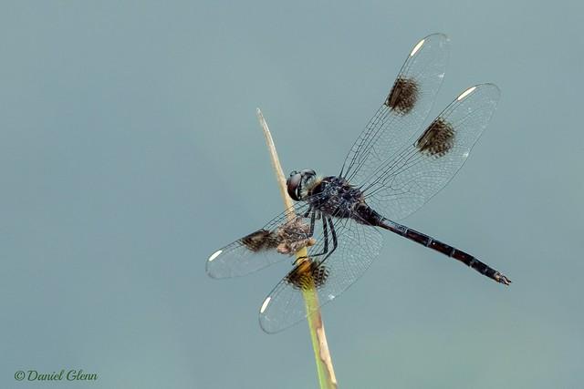 Four-spotted Pennant dragonfly (Brachymesia gravida)