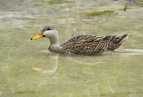 Mottled duck (Anas fulvigula), Gulfport, Florida | by Jim 592