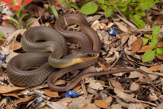 Coluber constrictor flaviventris (Eastern Yellow-bellied Racer) | by Kyle L.E.
