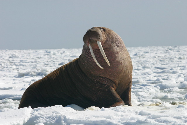 Pacific Walrus Bull